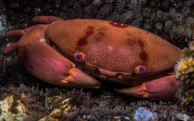 The Convex crab (Carpilius convexus)