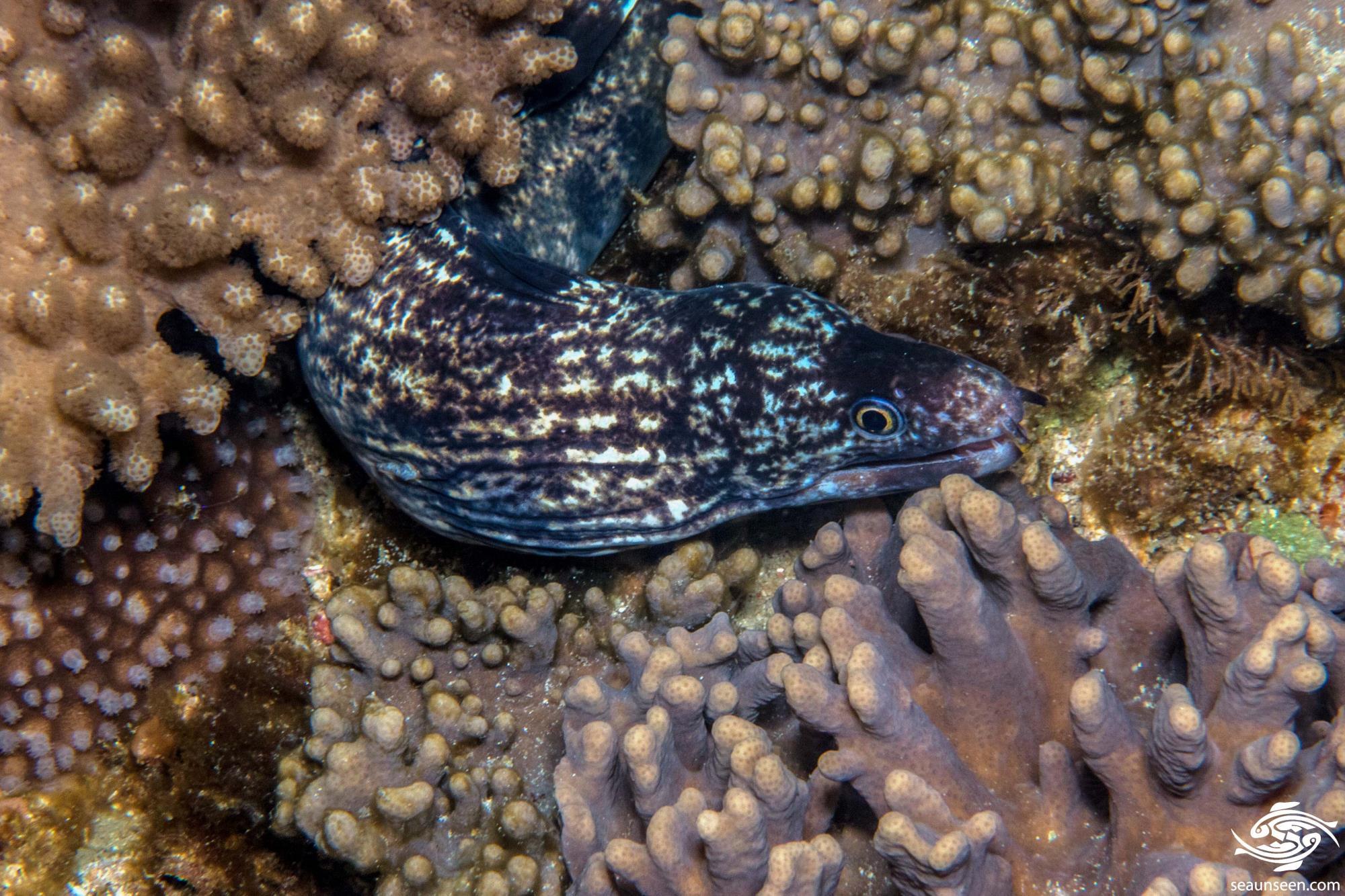 Enigmatic Moray Eel 2