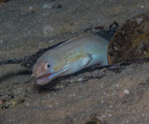 Whitemargin moray or the white-edged moray, Gymnothorax albimarginatus