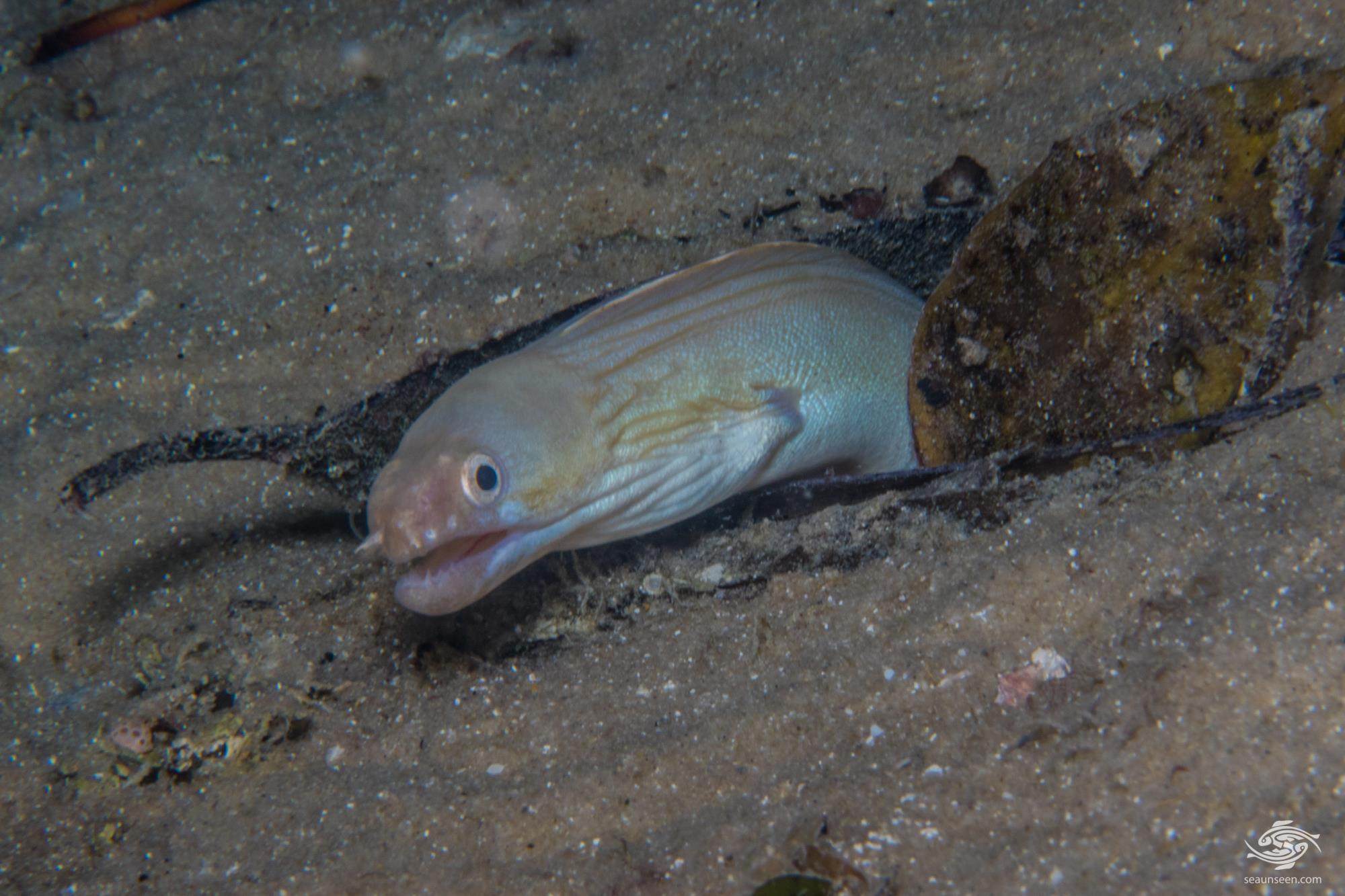 Whitemargin moray or the white-edged moray, Gymnothorax albimarginatus