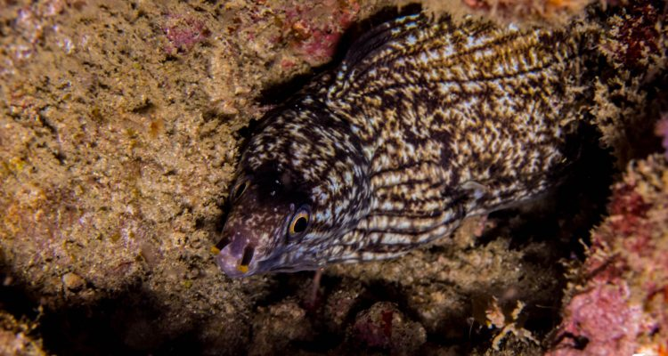 Enigmatic moray eel (Gymnothorax enigmaticus) is also known as the Banded Moray Eel