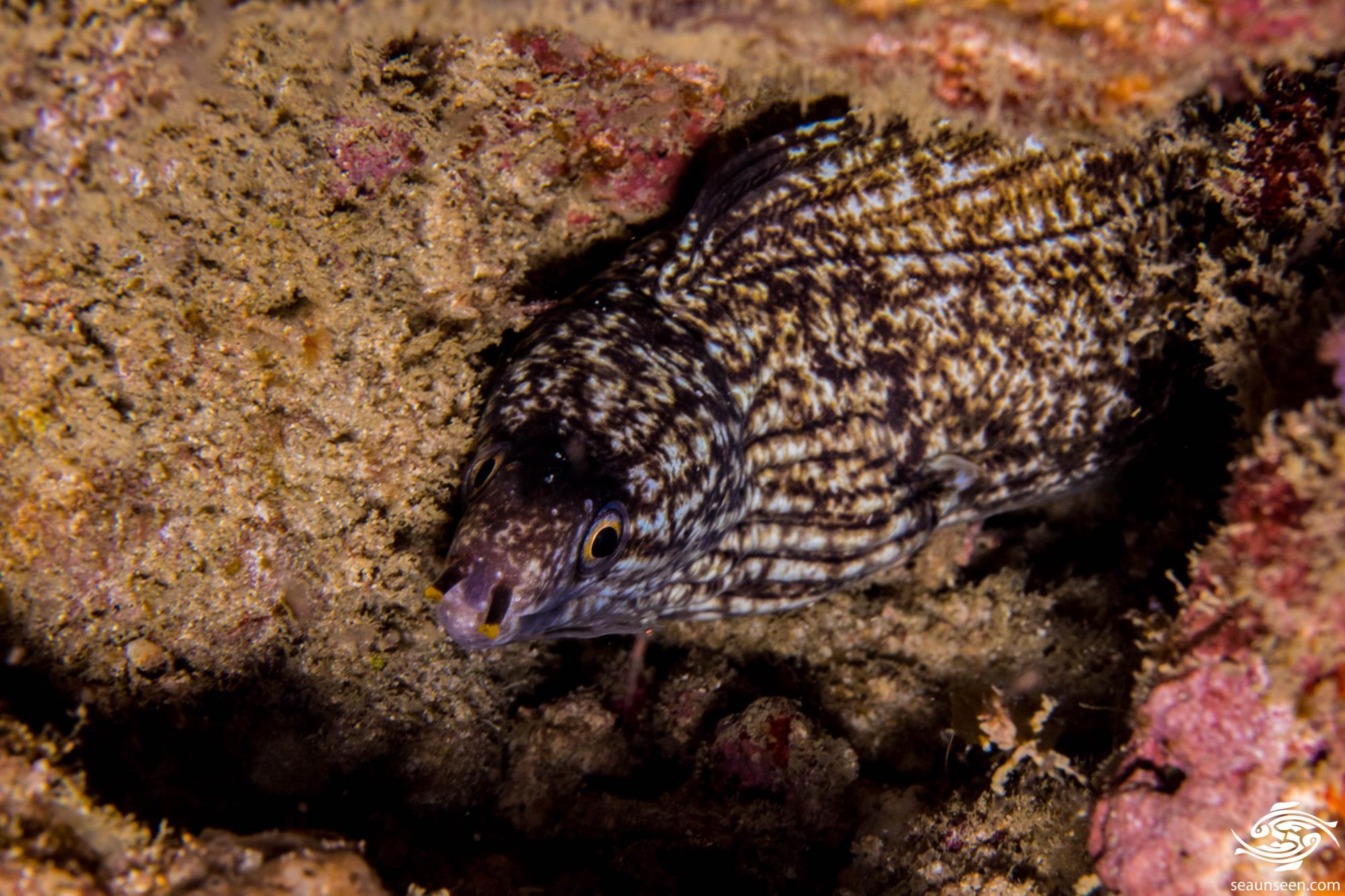 Enigmatic Moray Eel 1
