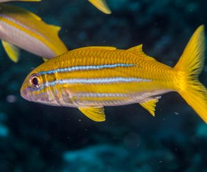 Indian mimic goatfish (Mulloidychtys ayliffe)