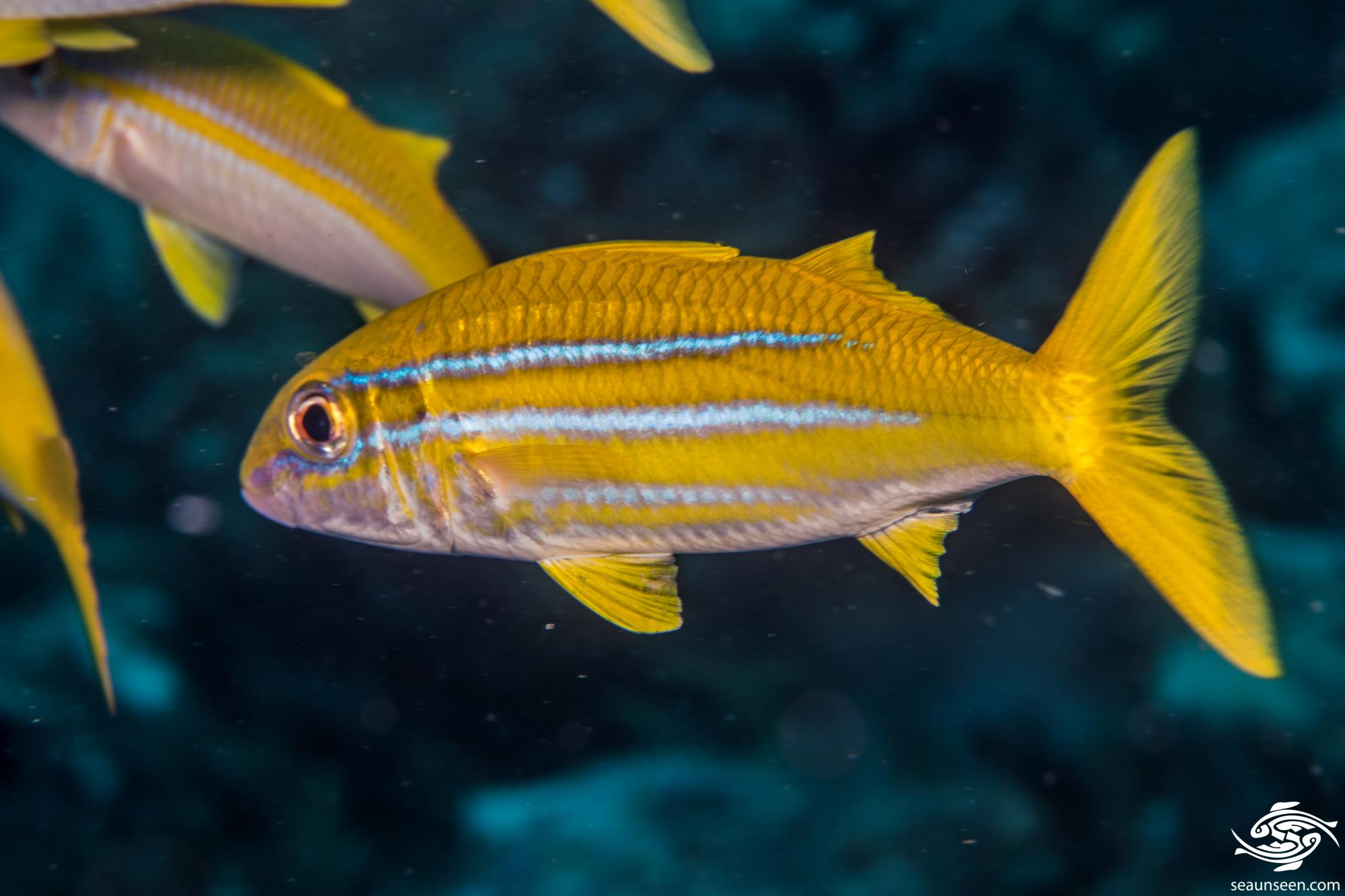 Indian mimic goatfish 1