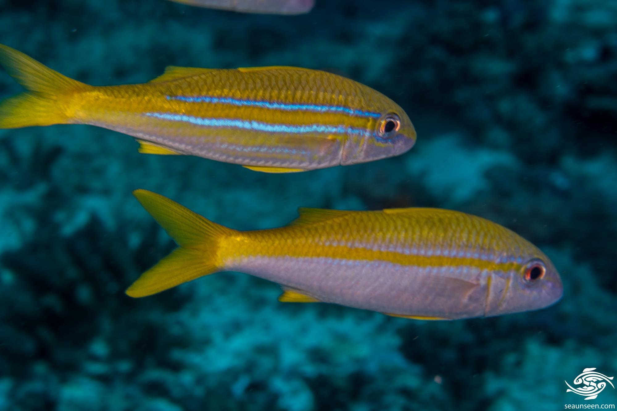 Indian mimic goatfish (Mulloidychtys ayliffe)