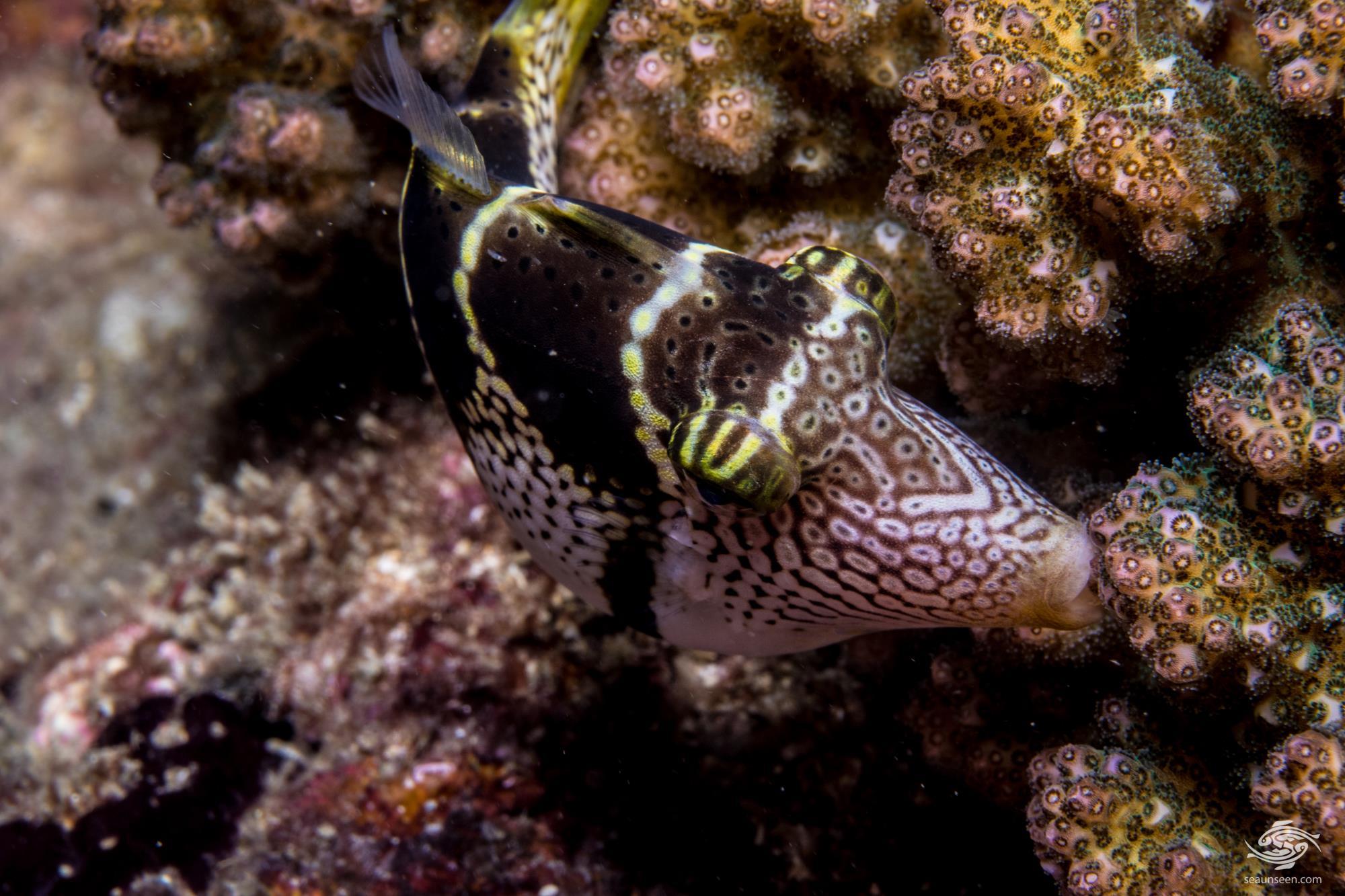 Filefish biting onto corals at night