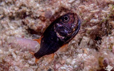 Sea Urchin cardinalfish ( Siphamia mossambica)