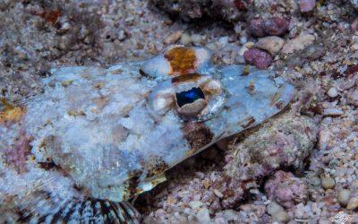 Red Sea flathead (Thysanophrys springeri)