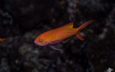 Threadfin Anthias (Nemanthias carberryi)