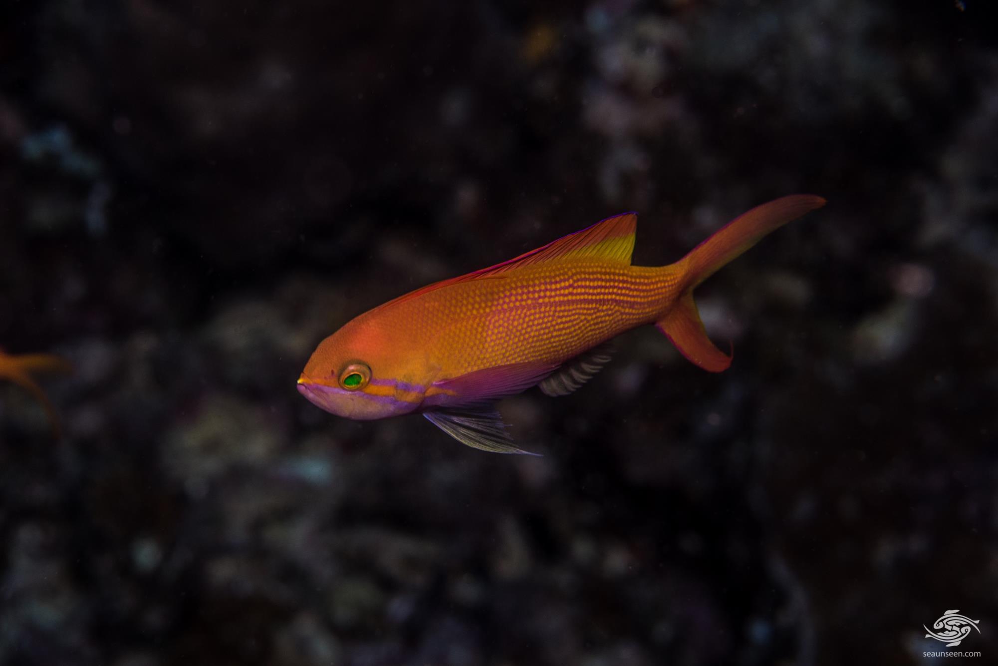 Threadfin Anthias 1