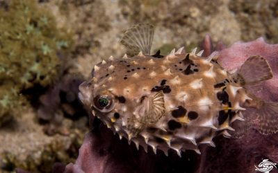 Birdbeak Burrfish Cyclichthys orbicularis is also known as the Orbicular Burrfish