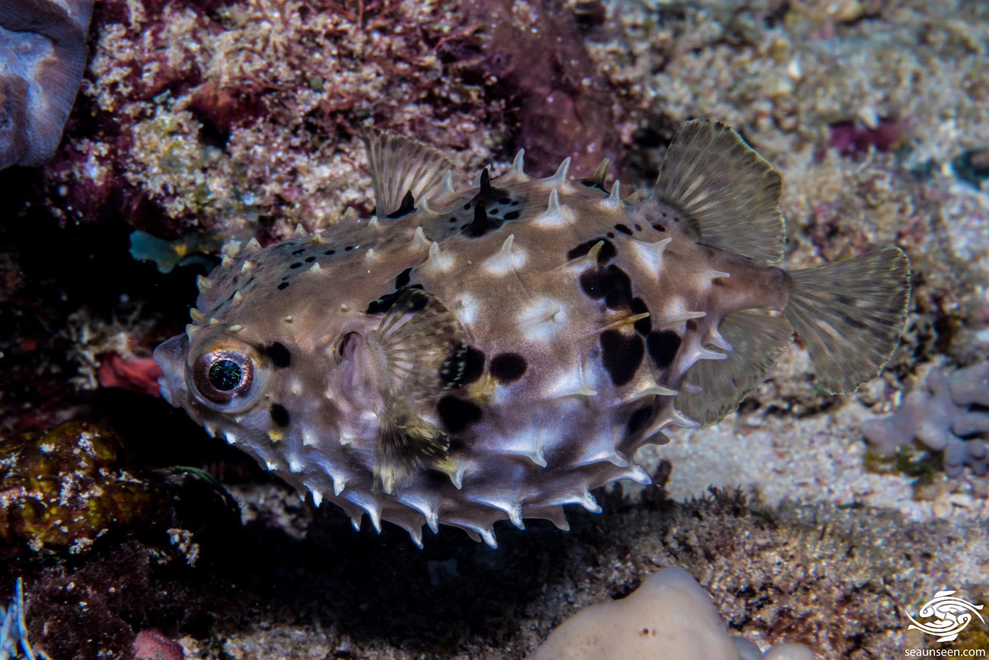 Cyclichthys orbicularis 4