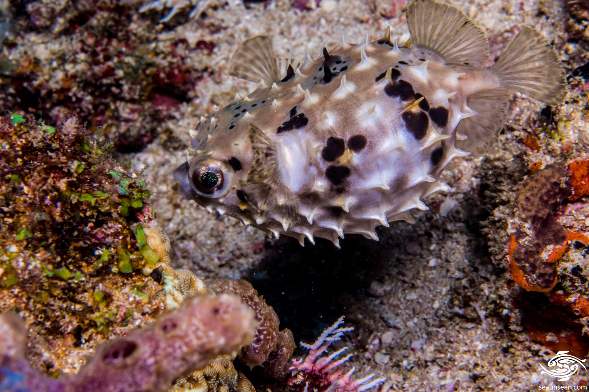 Birdbeak Burrfish Cyclichthys orbicularis is also known as the Orbicular Burrfish
