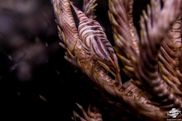 Crynoid shrimp