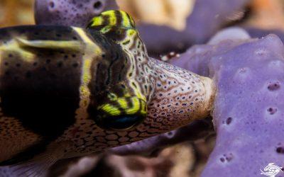Filefish teeth anchorage