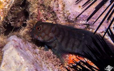 Chestnut eyelash-blenny (Cirripectes castaneus) is also known as the Chestnut Blenny