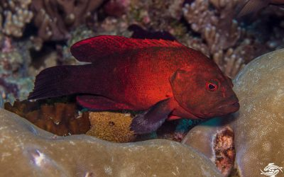Tomato Grouper (Cephalopholis sonnerati) is also known as the Tomato Rockcod, the Tomato Hind and the Tomato Cod.