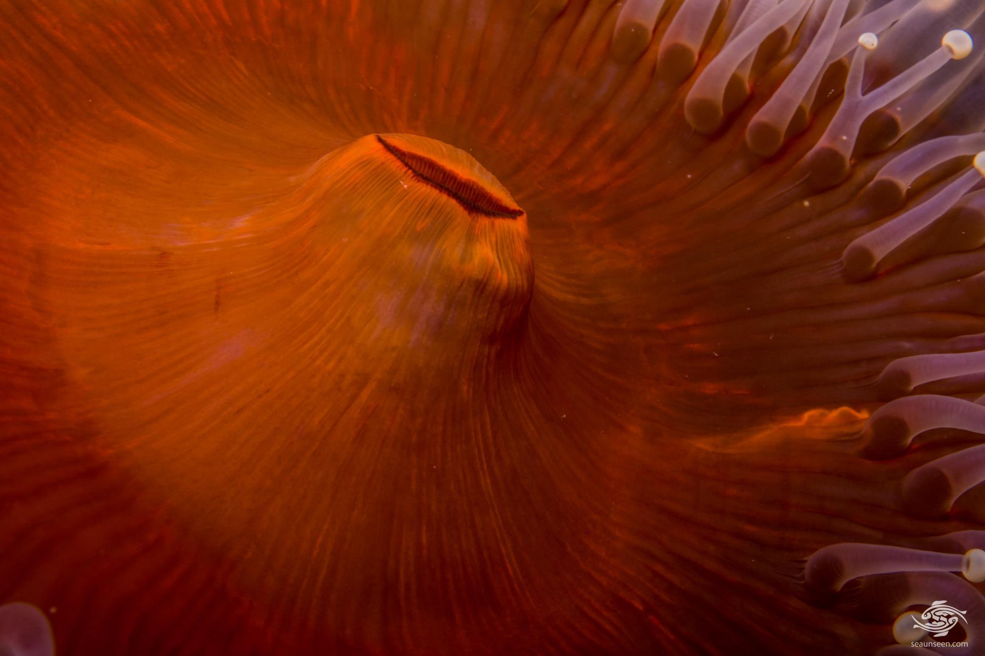 Giant Reef Corallimorph (Paracorynactis hoplites)