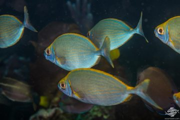 Forktail Rabbitfish (Siganus argenteus) is also known as the Streamlined Spinefoot and Schooling Rabbit-fish