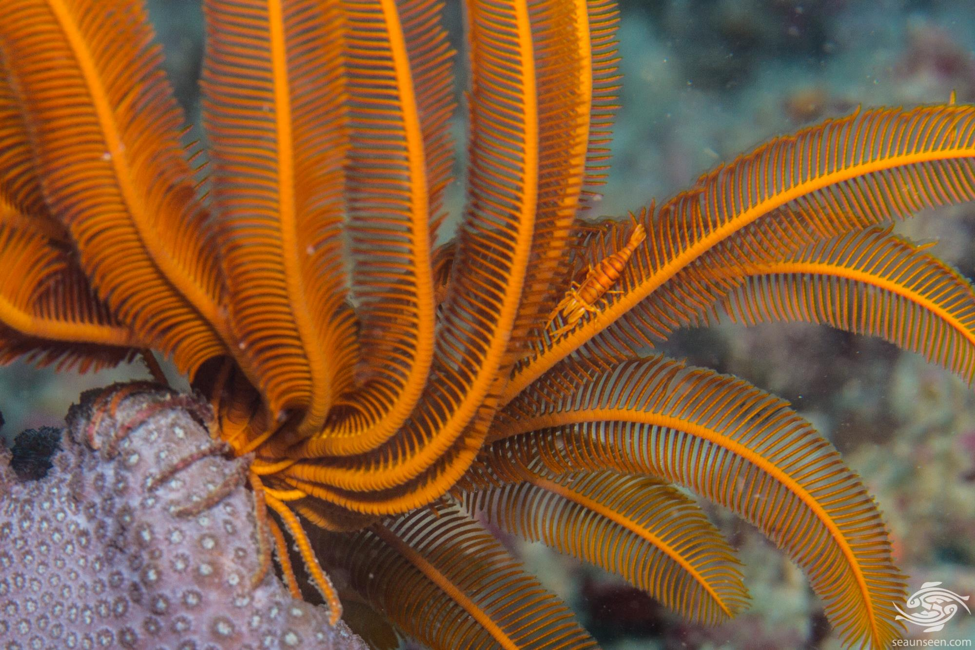 Feather Star 1