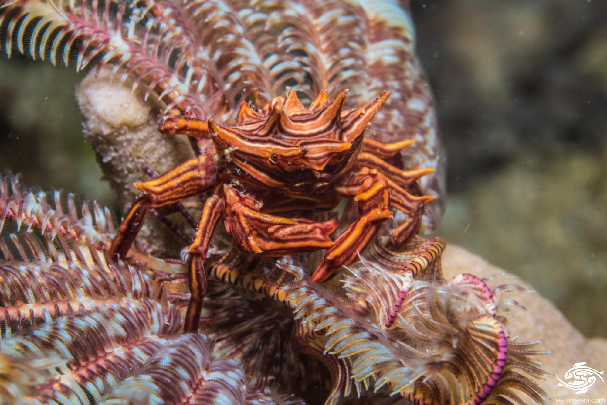 Feather Star Crab (Tiaramedon spinosum)