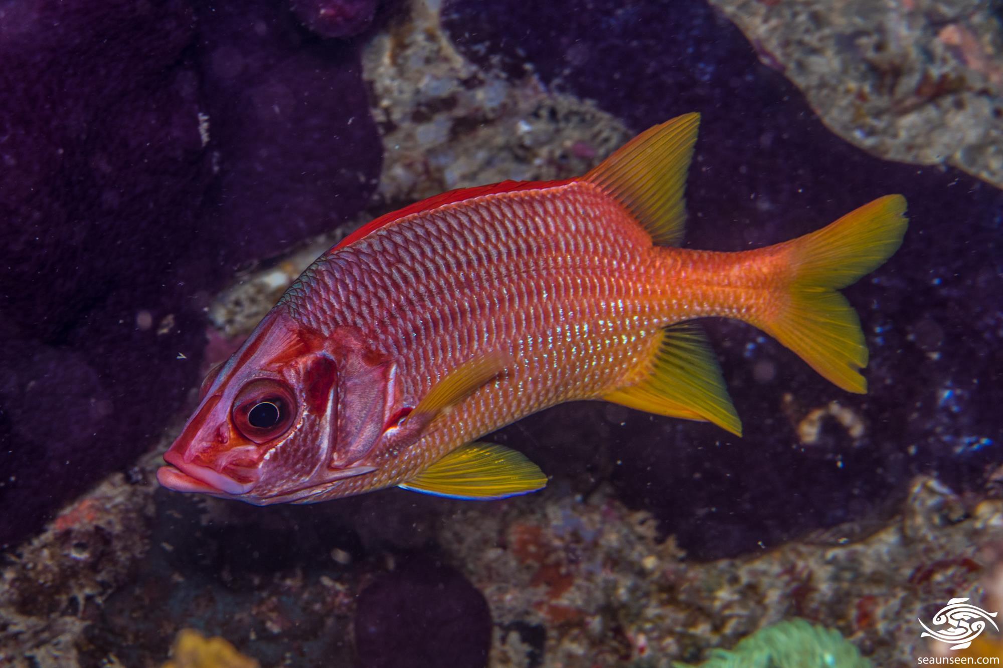 Saber squirrelfish 2