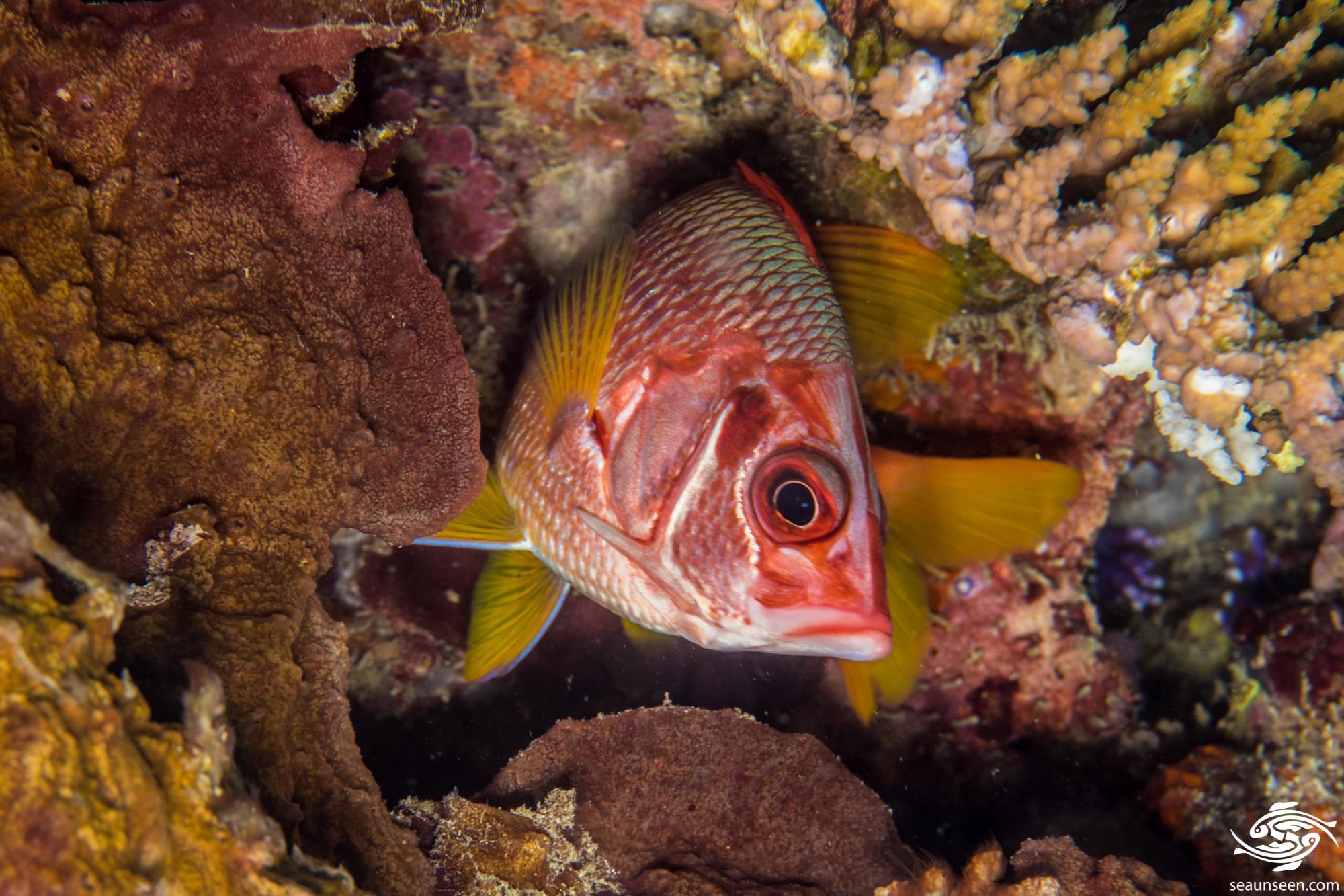 Saber squirrelfish