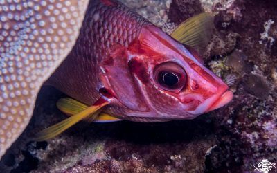 Saber squirrelfish (Sargocentron spiniferum)is also known as the Giant squirrelfish and Spiny squirrelfish