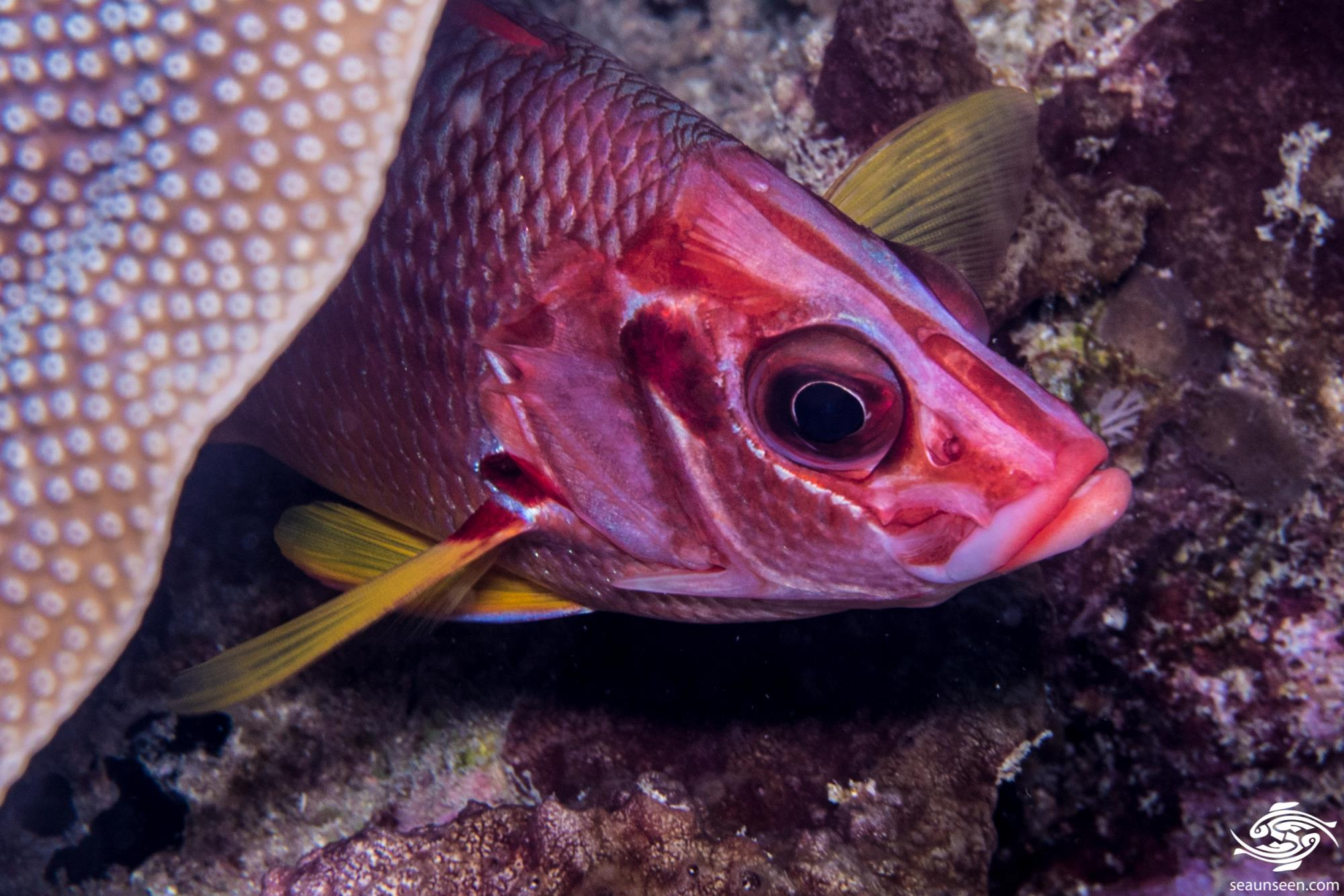Saber squirrelfish 3