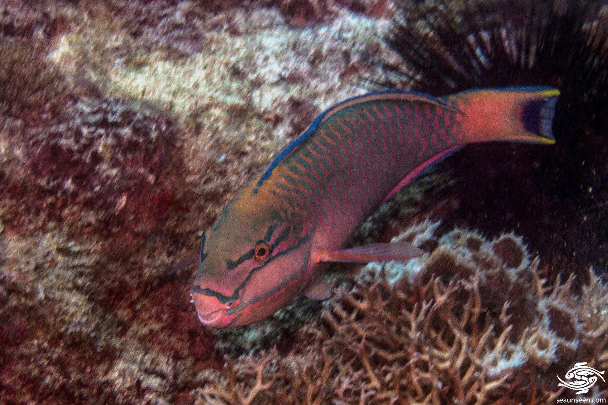 Black Crescent Parrotfish