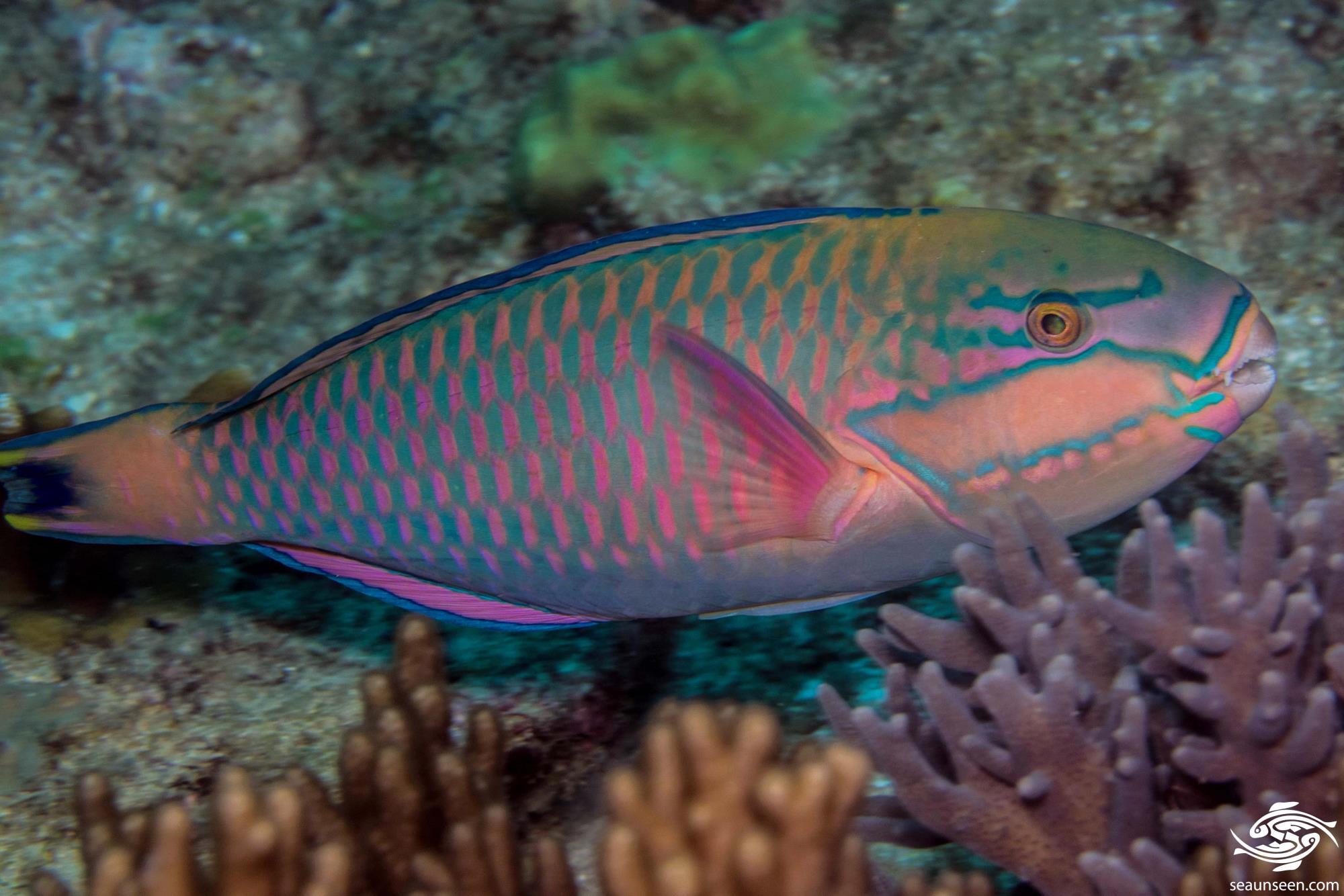 Large adult TP Bluemoon parrotfish