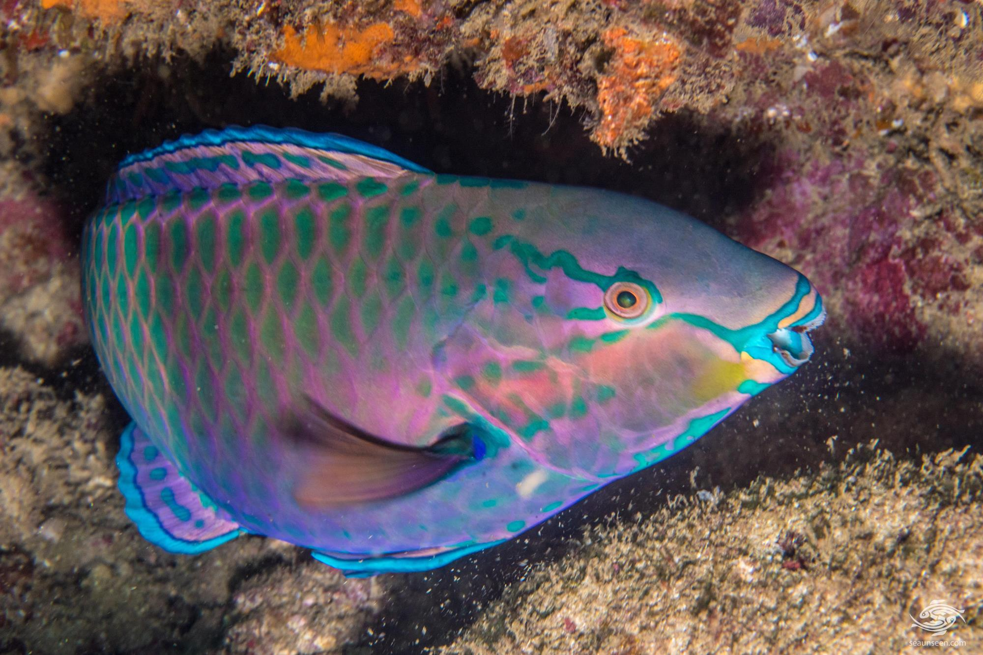 tricolor parrotfish facts and photographs