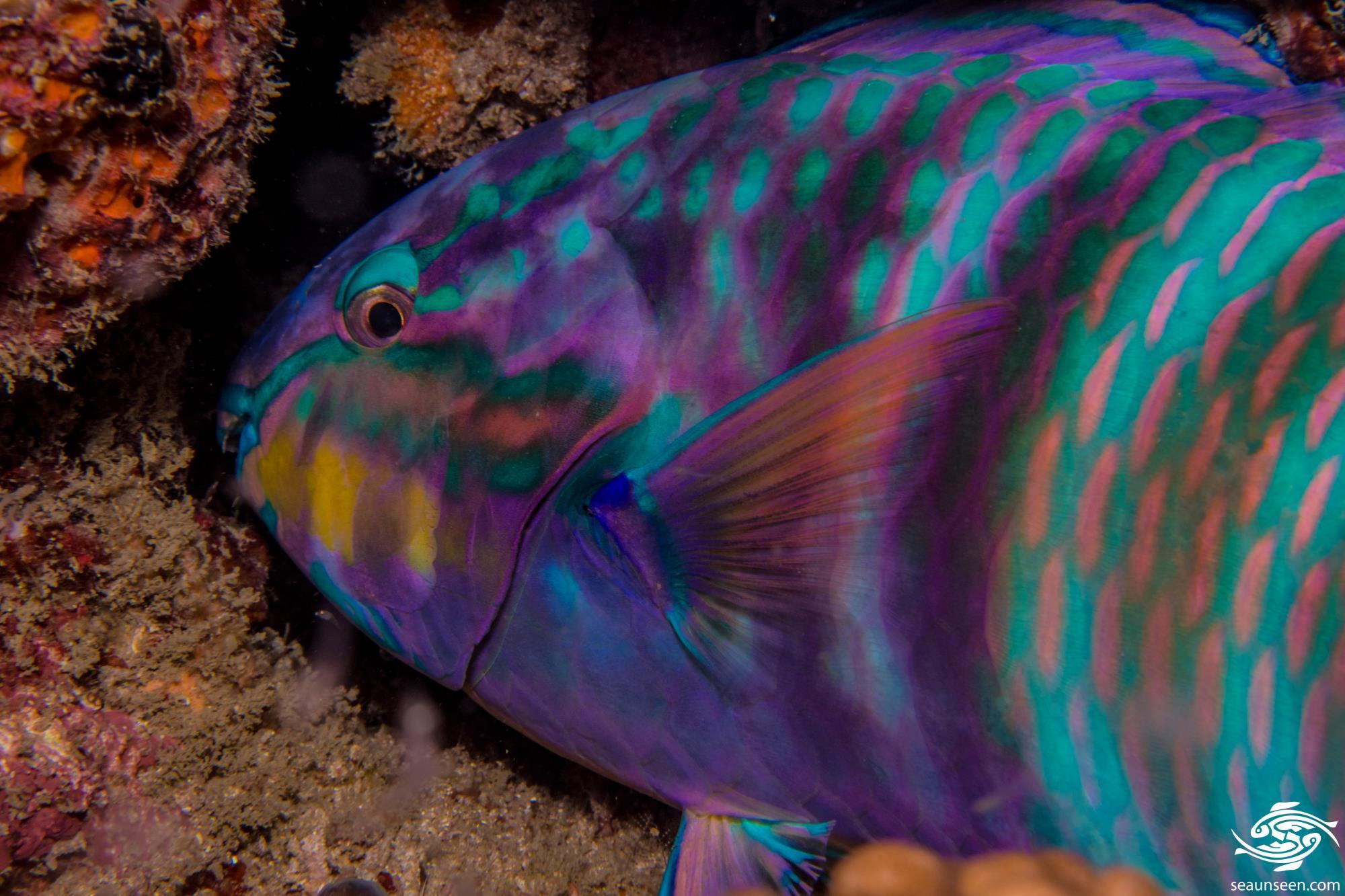 juvenile parrotfish images