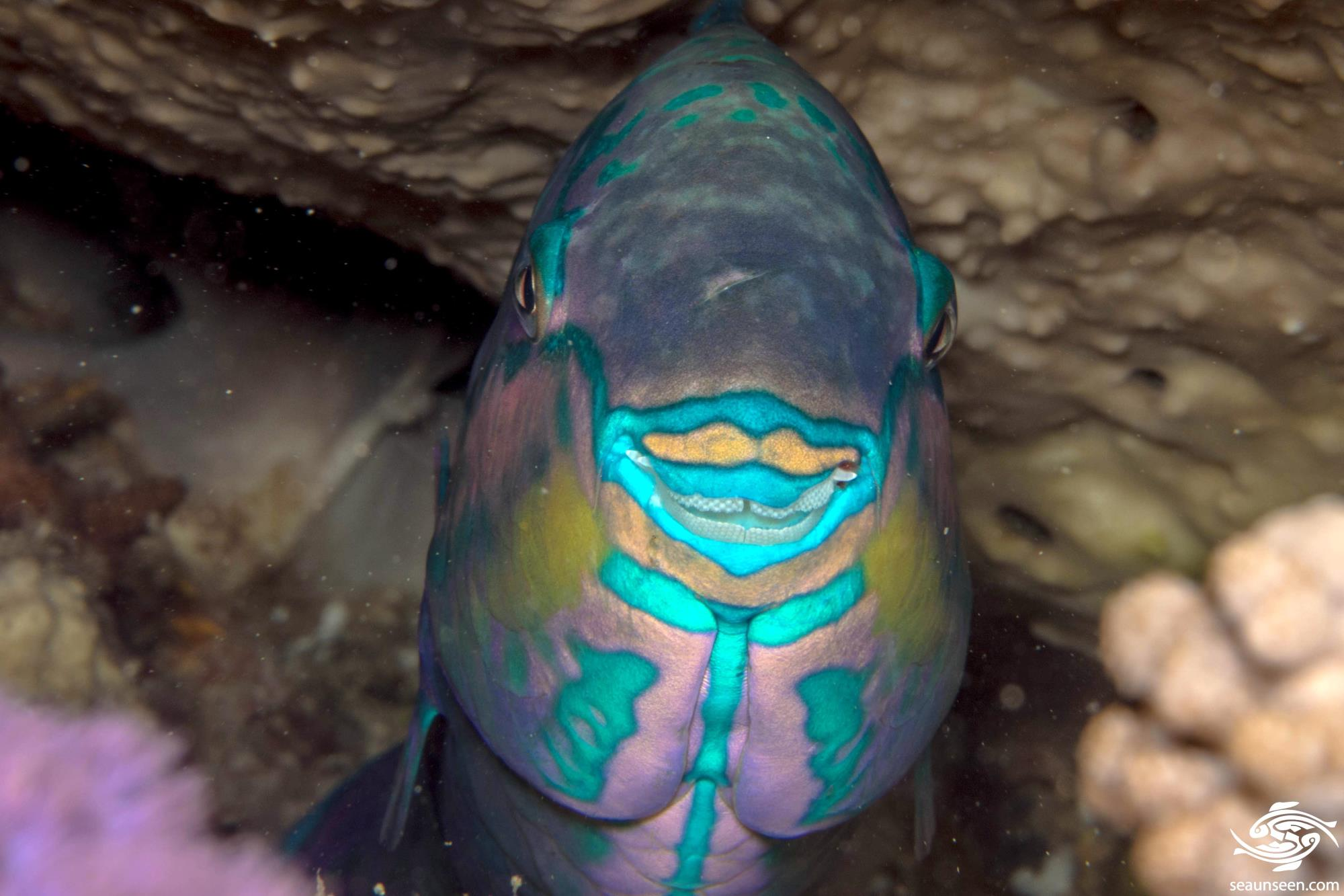 tricolor parrotfish images