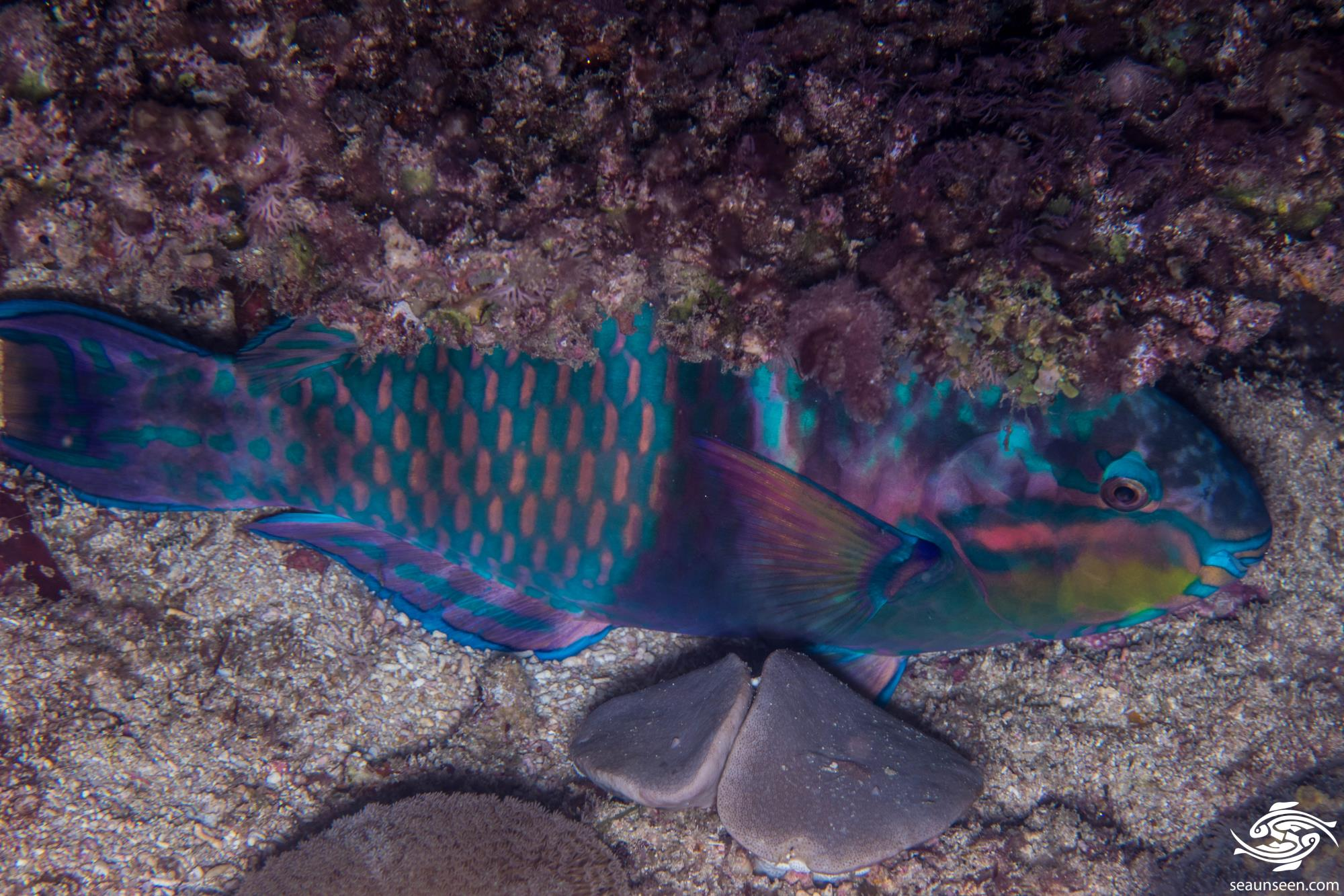 Three color parrotfish