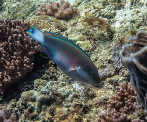 Bluemoon parrotfish (Chlorurus atrilunula) also known as the Black Crescent Parrotfish