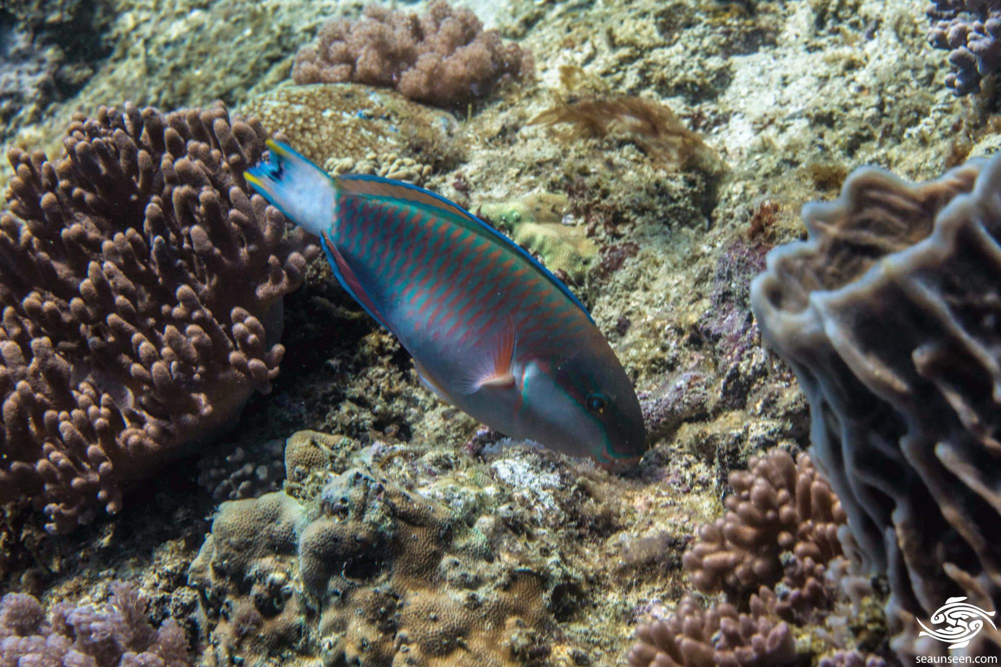 Black Crescent Parrotfish 5