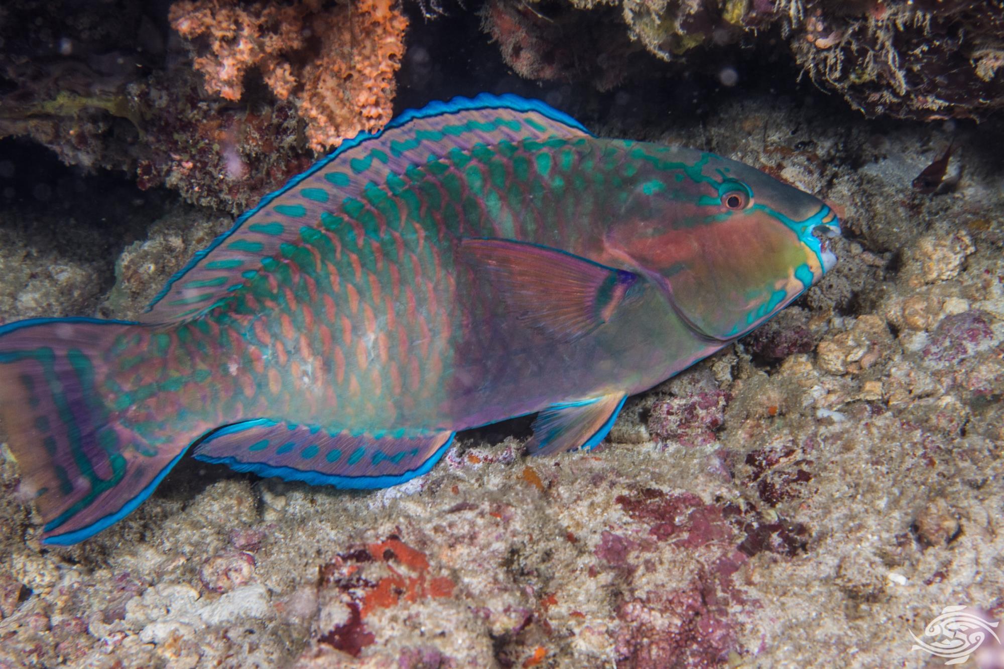 parrotfish habitat