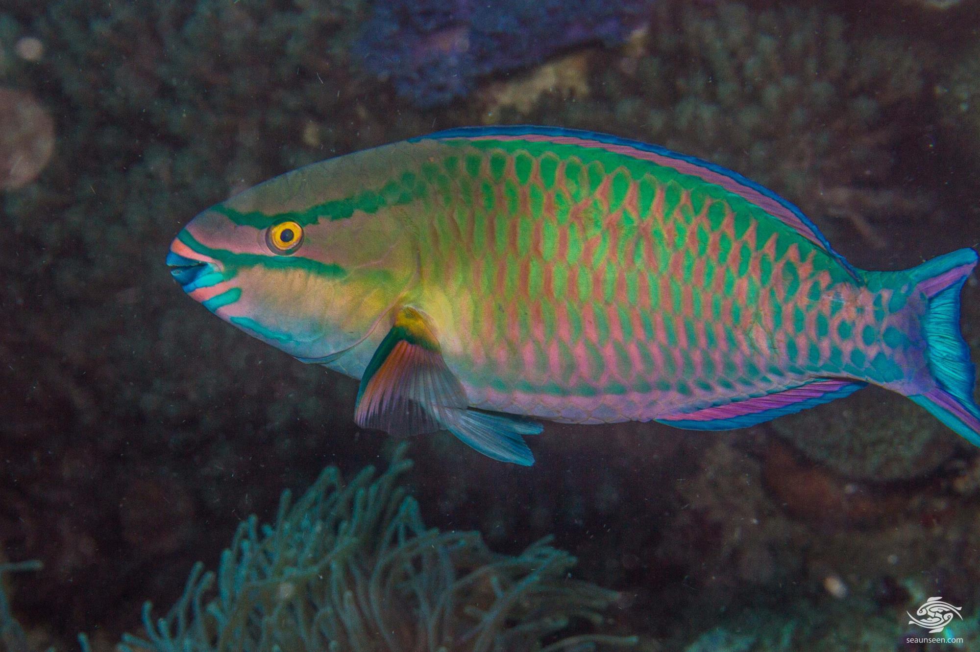 Tricolour parrotfish (Scarus tricolor)