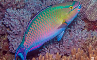 Tricolour parrotfish (Scarus tricolor) is also known as the Three color parrotfish