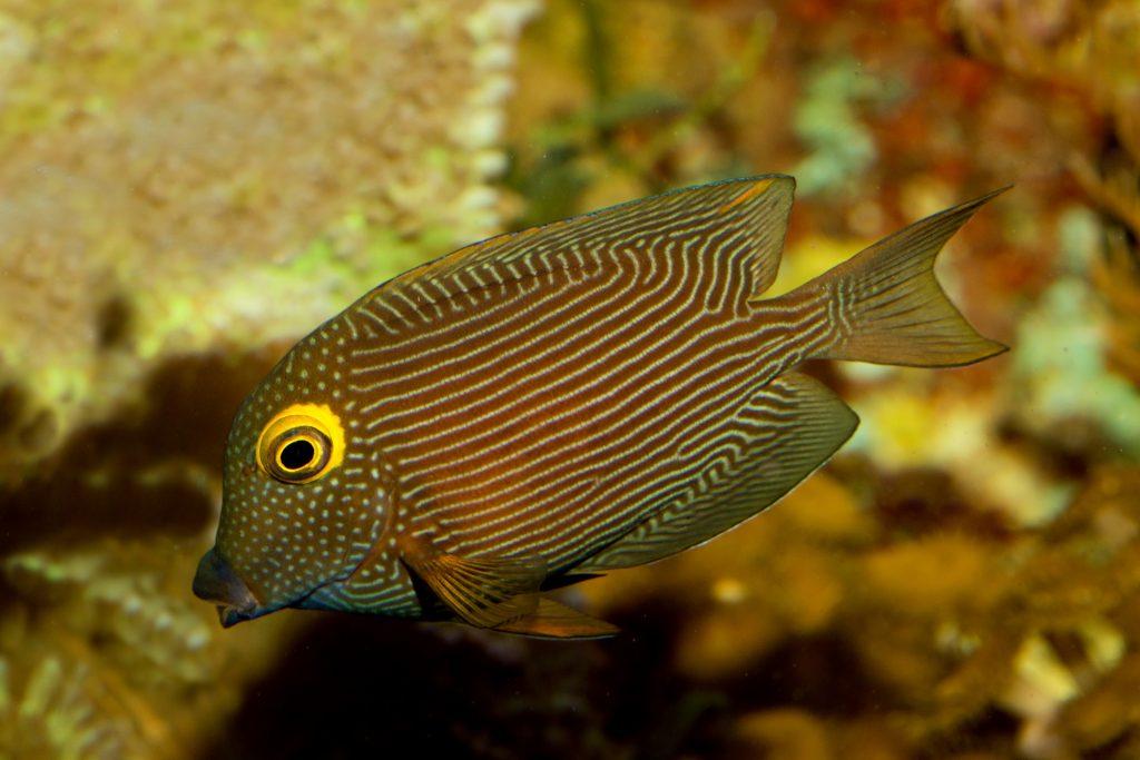 Top 10 Saltwater Aquarium Fishes 5