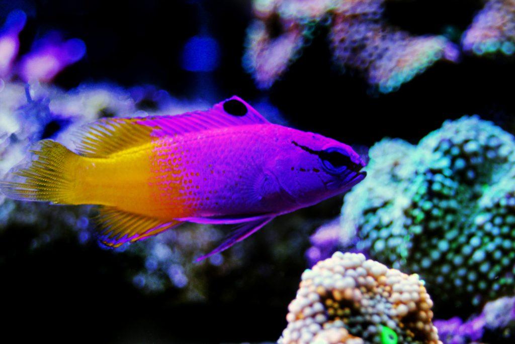 Top 10 Saltwater Aquarium Fishes 3