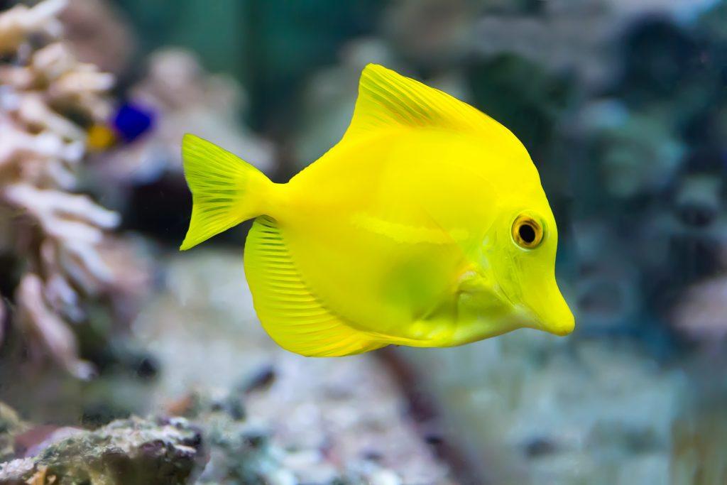 Top 10 Saltwater Aquarium Fishes 6