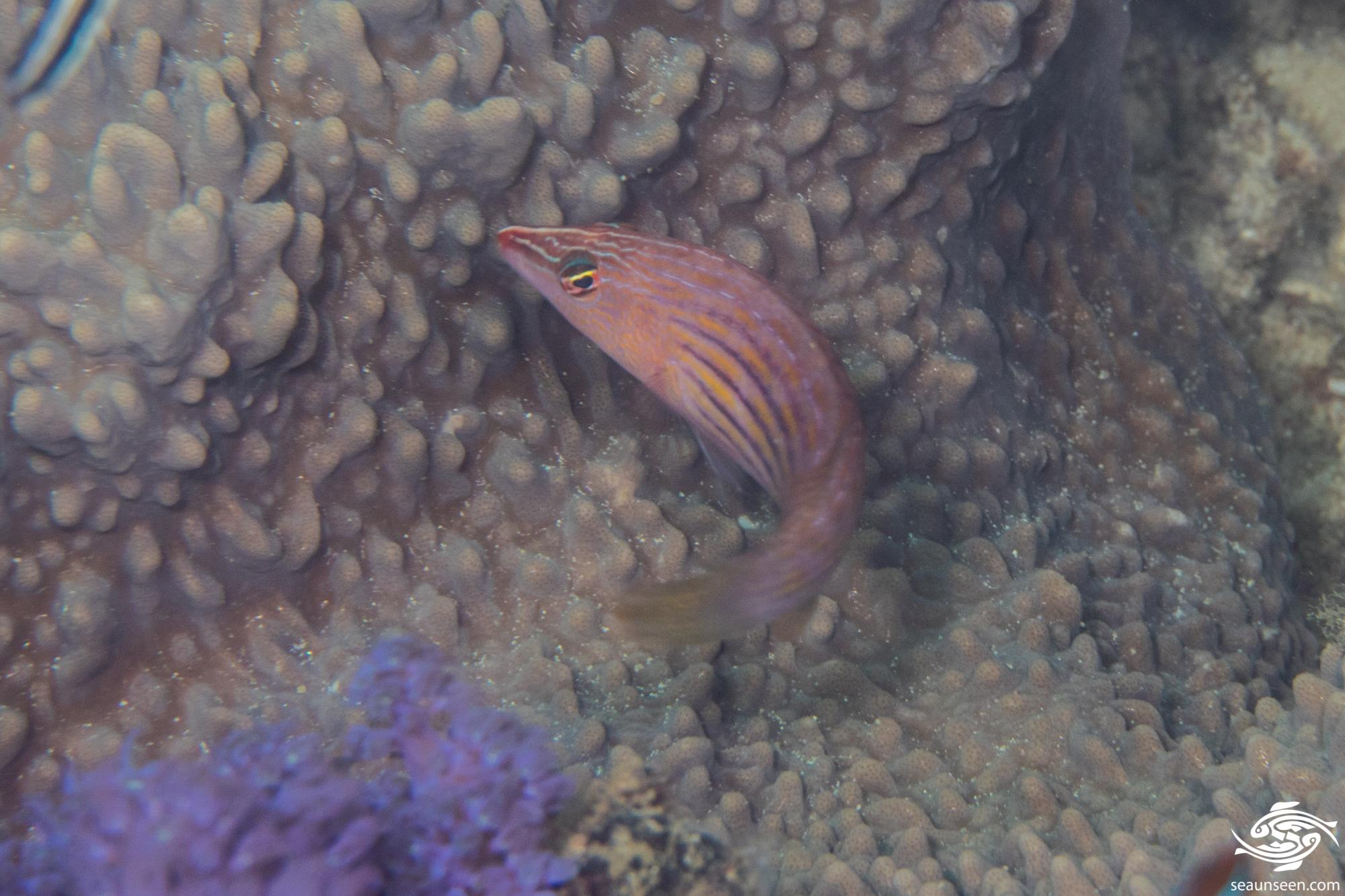 Eight lined wrasse (Pseudocheilinus octotaenia) is also known as the Eightstripe Wrasse or Eightline Wrasse.