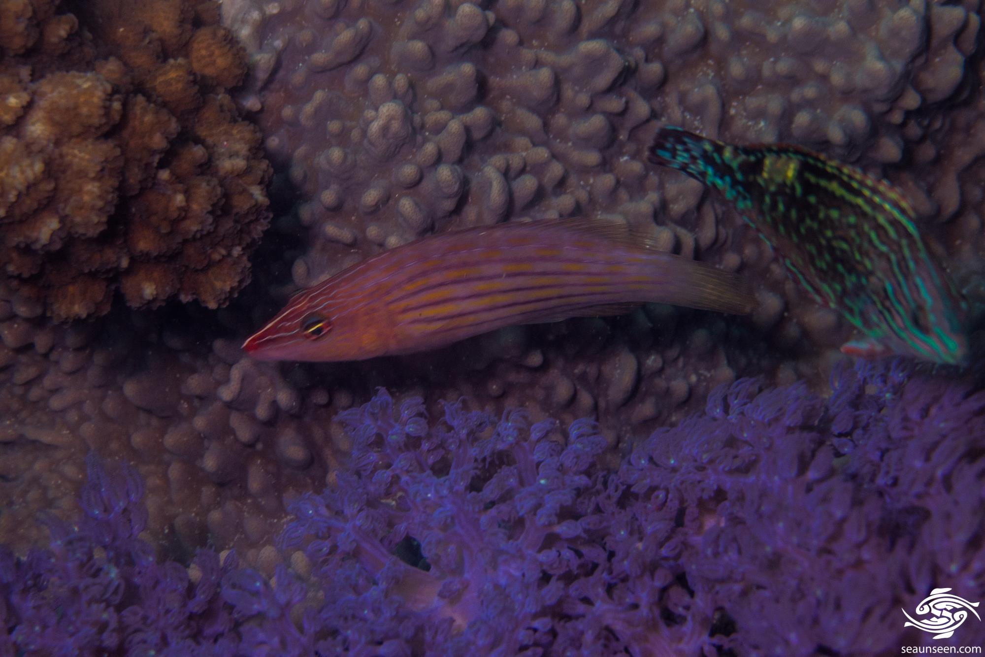 Eight lined wrasse (Pseudocheilinus octotaenia) is also known as the Eightstripe Wrasse or Eightline Wrasse