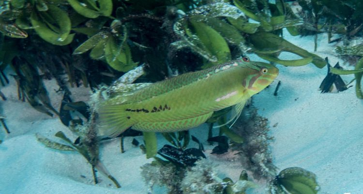 Sea Grass Wrasse (Novaculoides macrolepidotus) is also known as the Emerald Wrasse